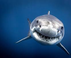 shark. Plain Shark Close Encounter As A Group Of Brave Divers Came Facetoface With On Shark
