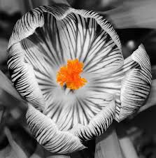 cool black and white photography with color. Perfect Photography 16floweryellowblackandwhitesplashof Inside Cool Black And White Photography With Color C