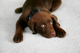 how to clean wool rug with dog urine on it