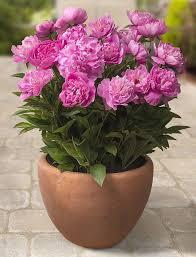 garden shrubs for pots gardening