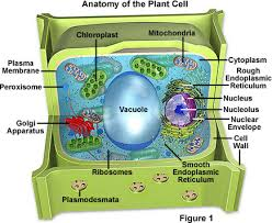 Nucleus usually found near the center of an animal cell, and along the edge of a plant cell, holds the organism's genetic information and directs most all of the activities in the cell. Molecular Expressions Cell Biology Plant Cell Structure