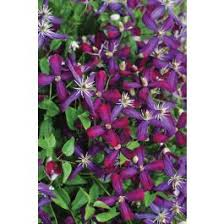 <b>Sweet Summer</b> Love Clematis