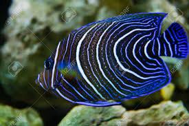 Pomacantidi reef aquarium