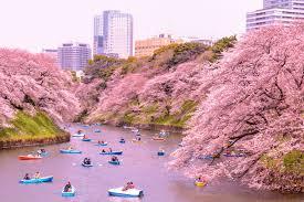 Bunga Sakura 5 Fakta Bunga Sakura Yang Membuatnya Begitu Istimewa