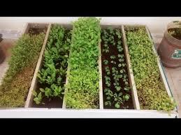 how to grow greens keerai
