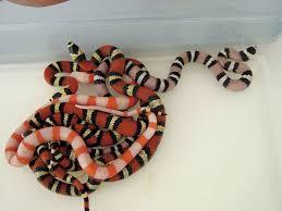 milk snake size honduran milk snake breeding tips