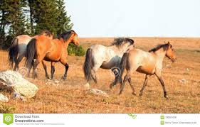 wild horses mustang running. Simple Mustang Download Wild Horse Mustang Stallions Running And Fighting In The Pryor  Mountains Range On To Horses O