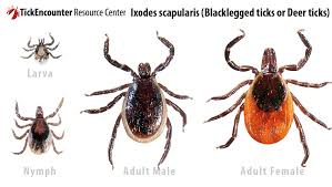 Cdc Tick Identification Chart Tickencounter Resource Center Tick Identification Ixodes