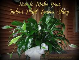 an easy 2 step process to shine your indoor plant leaves