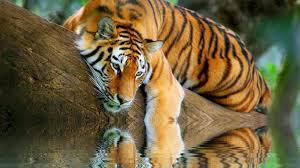 wallpapers big nature tiger reminiscing free 1366x768 707611