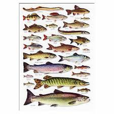 Freshwater Fish Identification Chart Freshwater Fish A5 Identification Card Chart Postcard
