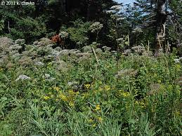 garden heliotrope with invasive tansy and reed canary gr