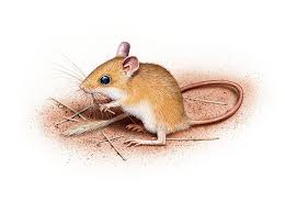 Rodents Lower Classifications Here Are 7 Clever Aussie Native Rodents
