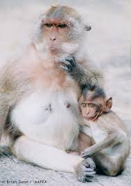 animal experiments pictures macaque and baby picture animal  macaque and baby picture animal testing pros and cons facts figures legislation and