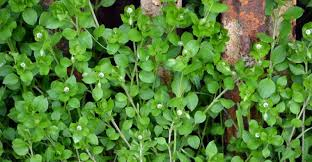 getting rid of chickweed. Plain Rid Chickweed In Bloom Throughout Getting Rid Of