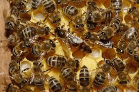 Risultati immagini per le api