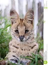 Serval e gatto caracal fotografia stock. Immagine di bande - 88906542
