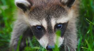 garden animals. Garden Pests And Small Animals: Nothing Is Worse Than Waking Up In The Morning Finding That A Racoon, Crow Or Has Tipped Over Your Garbage Bin Animals
