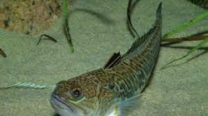Denizlerin En Zehirli Balıklarından Biri Ege'de Yakalandı!