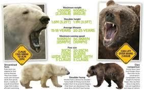 grolar bear size polar bear and grizzly hybrid size the best bear of 2018