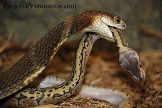 king cobra snake eating.  Snake King Cobra  Ophiophagus Hannah Eating A Ball Python Cobra Viper  Animals In Snake E