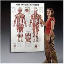 Anatomy Chart Muscular System Muscular System Giant Anatomical Chart