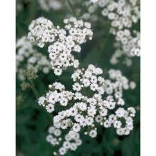 proven winners festival star hardy baby s breath gypsophila live plant white flowers