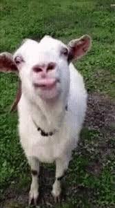 goat funny s gif goat funnys tongue gifs