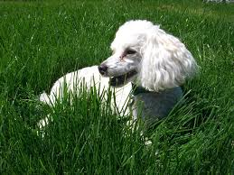like any other breed of dog poodles are e to a number of canine health problems some of these health problems depend more on the variety of poodle