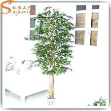 ficus tree arizona ficus tree outdoor ficus tree in arizona