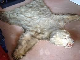 real polar bear skin rug wall hanging