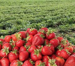 الفراولة Strawberry Park Bandung images?q=tbn:ANd9GcQ