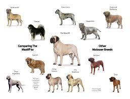 Canadian Mastiff Club Identifying Molosser Breeds