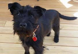 scottish terrier mix. Interesting Terrier Little Scarlett Is The Most Adorable Scottish TerrierSchnauzer Mix She  Fully Crate Trained And Working On Her House Training Leash Manners And Terrier Mix R