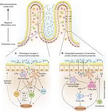 gut permeability and mucosal