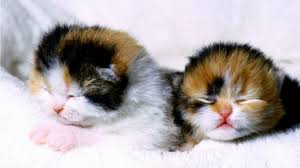 sweet cat cats sleeping twins pets sweetcubs cubs relax picture images