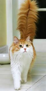 fluffy white and orange cats. Modren Cats Orange U0026 White Cat With Giant Fluffy Tail On Fluffy White And Cats