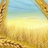 МСЗ отчет от июня Украина пшеница и зерновые культуры  Пшеница