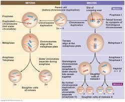 meiosis vs mitosis comparison schoolworkhelper meiosis vs mitosis
