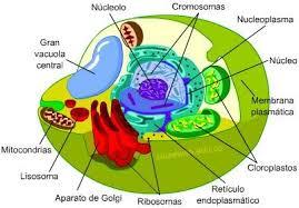 Resultado de imagen de celula vegetal