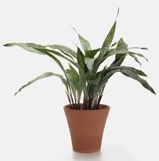... Interesting Indoor Plants No Light With Gallery Cast Iron Plant ...