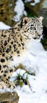 Snow Leopard Wallpaper for iPhone XR