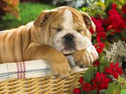 bulldog puppies sleeping.  Sleeping Sleep Bulldog Puppies Wallpaper IPhone For Sleeping S