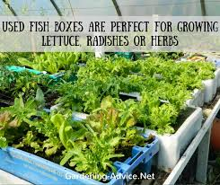 growing lettuce in containers and boxes