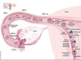 Implantation Embryology