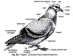 External Features Of Pigeon With Diagram Chordata Zoology