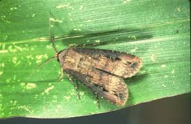 Black Cutworm Nc State Extension