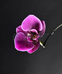 day orchid decor: day spa decor purple orchid on a black background selective focus space for