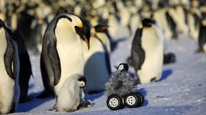real baby penguins pictures. Wonderful Pictures Intended Real Baby Penguins Pictures T