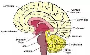 What Are The Main Parts Of The Human Brain What Functions